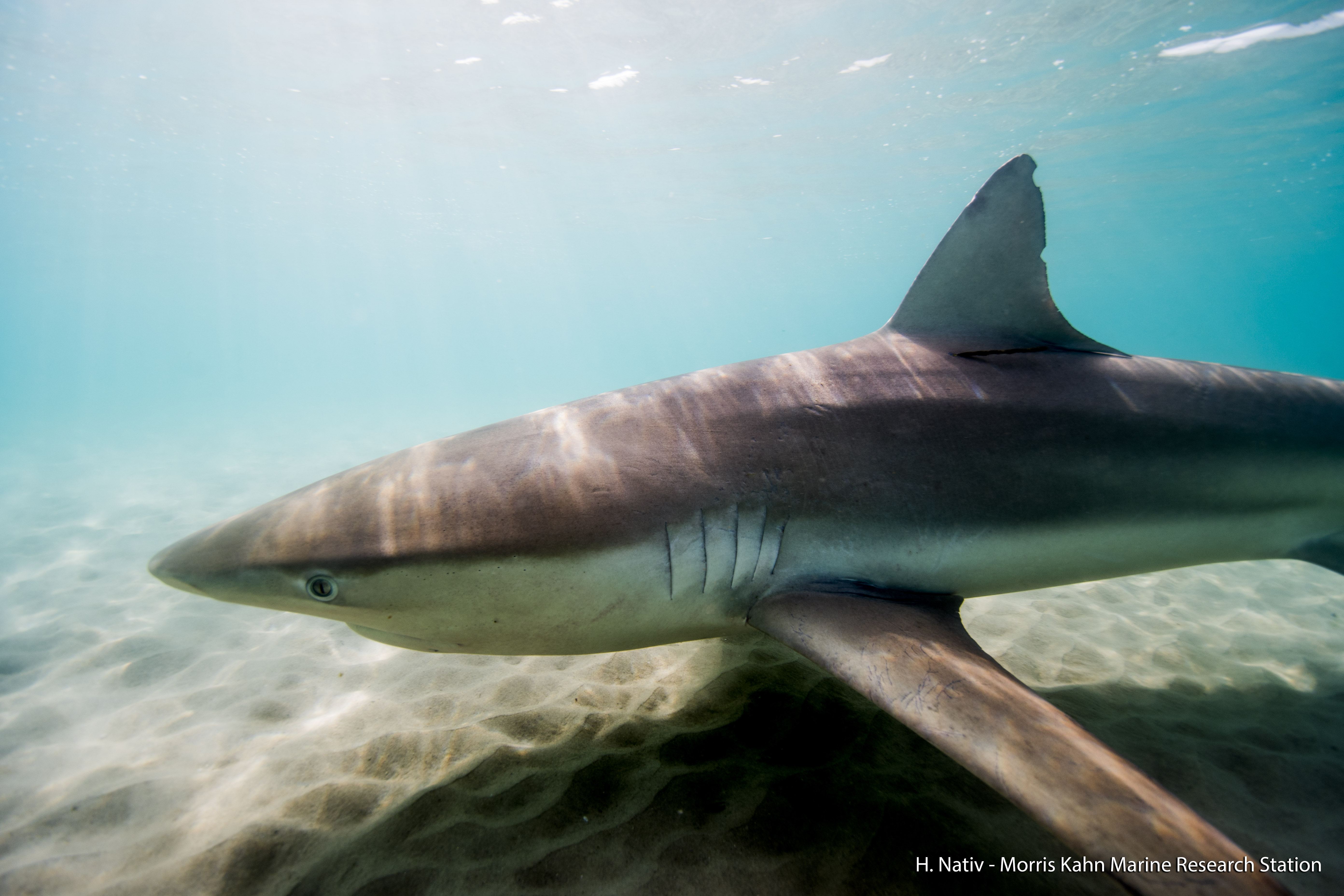 כריש בשפך נחל חדרה shark in Hadera ISRAEL